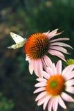 A borboleta de couve que senta-se no rosa com coneflower alaranjado Imagem de Stock