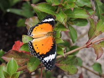 Borboleta de Doris Longwing Fotos de Stock