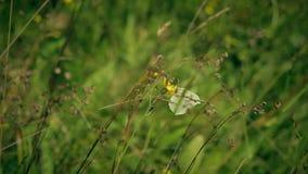 A borboleta de Gonepteryx voa da flor amarela video estoque