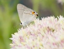 Borboleta de Hairstreak cinzenta bonita em flores Imagens de Stock