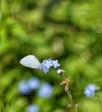 Borboleta de Holly Blue que recolhe o néctar dos miosótis foto de stock