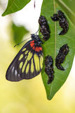 borboleta de Jezebell da Vermelho-base (pasithoe do pasithoe de Delias) com crisálidas Fotos de Stock