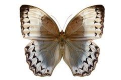 Borboleta de Junglequeen do cambodian (howqua de Stichophthalma) imagem de stock