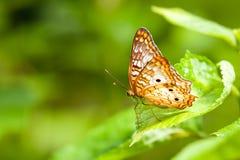 A borboleta de Lacewing imagem de stock