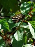 Borboleta de Longwing da zebra Imagens de Stock Royalty Free