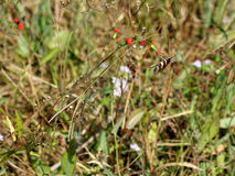 Borboleta de Longwing da zebra Fotografia de Stock Royalty Free