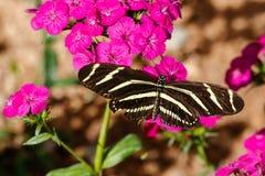 Borboleta de Longwing da zebra em flores cor-de-rosa Imagens de Stock