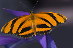 Borboleta de Longwing do tigre Imagem de Stock Royalty Free
