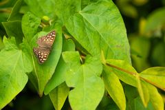 Borboleta de madeira salpicada Pararge Aegeira fotografia de stock royalty free