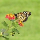 Borboleta de Makhaon em uma flor summertime Imagem de Stock Royalty Free