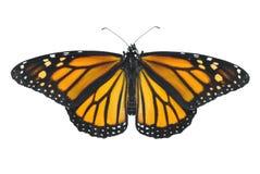 Borboleta de monarca imagem de stock