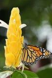 Borboleta de monarca Imagem de Stock Royalty Free
