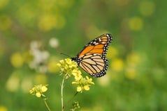 A borboleta de monarca Foto de Stock
