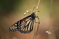 A borboleta de monarca Foto de Stock Royalty Free