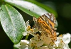 Borboleta de monarca Imagens de Stock