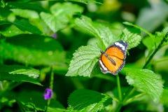 Borboleta de monarca bonita fotografia de stock