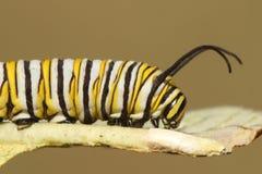 Borboleta de monarca Caterpillar & x28; Plexippus& x29 do Danaus; Imagem de Stock Royalty Free