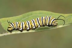Borboleta de monarca Caterpillar & x28; Plexippus& x29 do Danaus; Fotografia de Stock Royalty Free