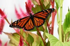 Borboleta de monarca de Cape May Fotografia de Stock