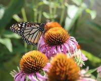 Borboleta de monarca em Coneflower roxo Fotografia de Stock Royalty Free