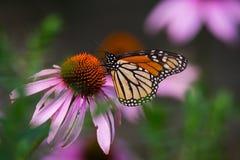 Borboleta de monarca em Coneflower roxo Imagens de Stock Royalty Free