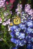 Borboleta de monarca em flores azuis do delfínio fotografia de stock