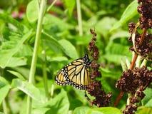 Borboleta de monarca em sementes marrons da planta encaracolado 2 da doca fotografia de stock royalty free