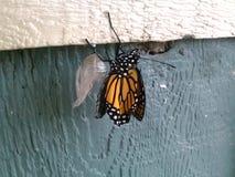 Borboleta de monarca emergente Imagens de Stock Royalty Free