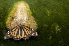 Borboleta de monarca empoleirada sobre a lagoa verde Fotos de Stock Royalty Free