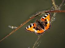 Borboleta de monarca inoperante Imagens de Stock Royalty Free