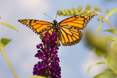 Borboleta de monarca muito ao alto Fotografia de Stock