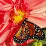 Borboleta de monarca na dália Imagem de Stock