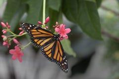 Borboleta de monarca na flor Imagem de Stock