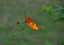 Borboleta de monarca na flor alaranjada Foto de Stock Royalty Free