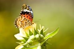 Borboleta de monarca na flor amarela fotografia de stock royalty free