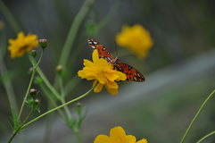 Borboleta de monarca na flor amarela Foto de Stock