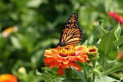 Borboleta de monarca na flor do Zinnia Fotos de Stock Royalty Free
