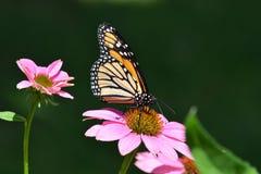 Borboleta de monarca na flor roxa do cone Fotografia de Stock