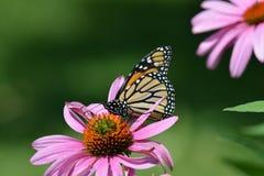 Borboleta de monarca na flor roxa do cone Foto de Stock Royalty Free