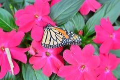 Borboleta de monarca nas flores fotografia de stock