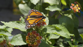 Borboleta de monarca no console de Mackinac Fotografia de Stock Royalty Free