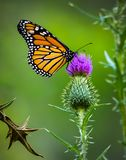 Borboleta de monarca no fundo roxo do verde do cardo fotos de stock royalty free