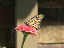 Borboleta de monarca no fundo silenciado do Zinnia cor-de-rosa Fotos de Stock Royalty Free