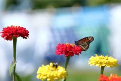 Borboleta de monarca no jardim imagem de stock
