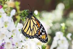 Borboleta de monarca no jardim 3 imagens de stock