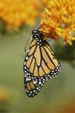 Borboleta de monarca nova (plexippus do Danaus) fotografia de stock royalty free