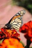 Borboleta de monarca ocupada na flor do cravo-de-defunto Fotografia de Stock Royalty Free