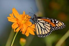 Borboleta de monarca, plexippus do Danaus fotografia de stock