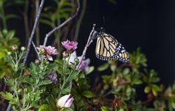 Borboleta de monarca (plexippus do Danaus) no jardim 2 fotografia de stock