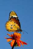 Borboleta de monarca sob o céu azul Fotografia de Stock Royalty Free